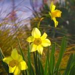 daffodills in the sunshing